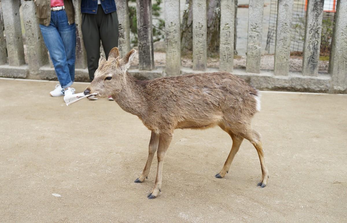 宮島の鹿の写真